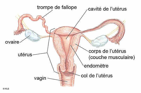 Tomber enceinte d'un ovaire