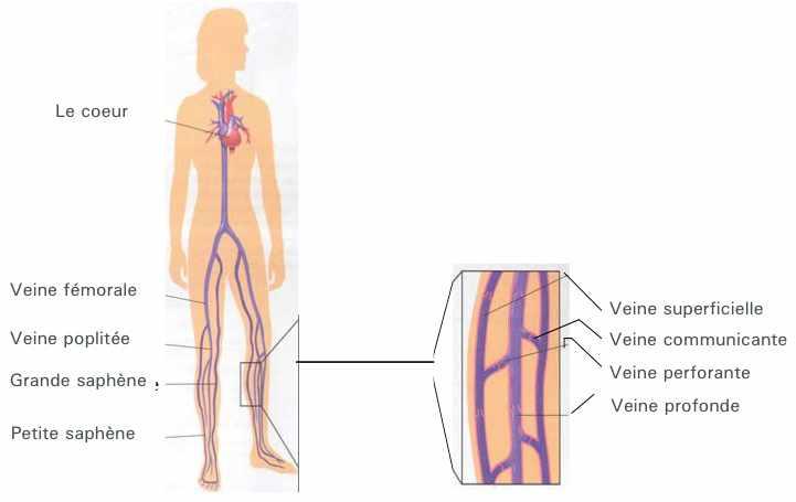 La circulation du sang des veines des pieds